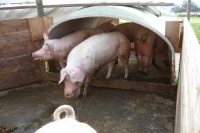 Schweineiglu